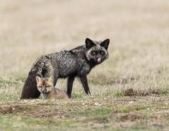 Happy Mother's Day! (T0nyJ0yce) Tags: family wild baby nature animals mom cub wildlife explore kit pup mammals foxes silverfox redfox vulpesvulpes canon7dmarkii tamron150600