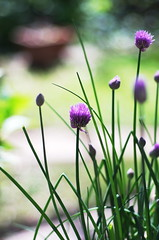 onions in the garden (SS) Tags: italy flower garden spring pentax bokeh lazio k5 2016 smcpentaxm50mmf17 ss