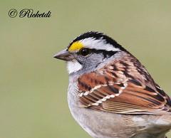 *** Portrait d un bruant  gorge blanche (ricketdi) Tags: white bird ngc npc sparrow whitethroatedsparrow zonotrichiaalbicollis bruant cantley bruantagorgeblanche coth5