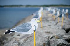 20160521 Sakushima 4 (BONGURI) Tags: art island nikon df seagull gull cosina jp   aichi       nisio  sakuisland    sakusima  parkingofgulls cosinavoigtlndernokton58mmf14sl2n
