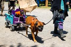 20160514_12142101-Edit.jpg (Les_Stockton) Tags: dog pet oklahoma us unitedstates canine fair renfaire renaissancefaire muskogee renaissancefair oklahomarenaissancefaire castleofmuskogee