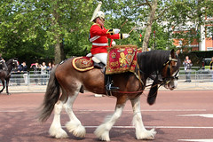 Drum Horse Adamas (NTG's pictures) Tags: drum horse adamas the major generals review rehearsal for trooping colour british army household division mounted band blues royals cavalry lifeguards life guards