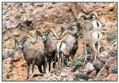 Bighorn Sheep (Ed Sivon) Tags: vegas wild sun mountain southwest nature america canon rocks lasvegas wildlife nevada canyon american clark western nevadadesert clarkcounty