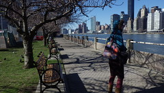 A Very Brisk Walk on Roosevelt Island, Along East River - IMGP4173 (catchesthelight) Tags: skyline buildings manhattan bluesky views promenade eastriver benches rooseveltisland floweringtrees tudorcity newyorkcityny springvisit april2016