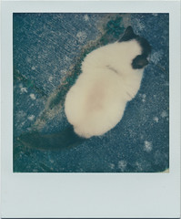 Bird's eye view of a cat (matthewjoldfield) Tags: colour cat fur polaroid beta fromabove diagonal afterwork patio 600 lookingdown visitor slr680 impossibleproject notagoodsitter
