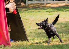 2016-05-22, IPO Training-28 (Falon167) Tags: dog shepherd josh german miles gsd germanshepherddog