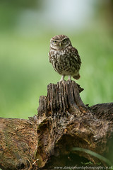 Little Owl Portrait (Alastair Marsh Photography) Tags: bird birds animal animals spring wildlife yorkshire feathers feather owl britishwildlife owls birdsofprey birdofprey springtime smallbirds littleowl smallbird britishbirds britishbird littleowls britishanimals yorkshirewildlife britishanimal animalsintheirlandscape