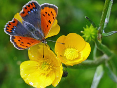 Small Copper Butterfly (eric robb niven) Tags: nature butterfly dundee wildlife small copper ericrobbniven