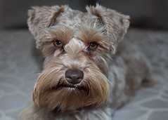 Quincy - grumpy look? (Cheryl3001) Tags: dog canon chocolate 28mm schnauzer liver 70d