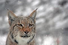 euroazijski ris (Lynx lynx / Eurasian Lynx / Eurasischer Luchs) (Hrvoje aek) Tags: park snow nature animal cat mammal zoo croatia zagreb priroda maksimir hrvatska snijeg maka felidae zoologicalgarden eurasianlynx lynxlynx ivotinja zagrebzoo zoolokivrt eurasischerluchs perivoj d7200 sisavac zoolokivrtgradazagreba euroazijskiris zoologicalgardenofzagreb