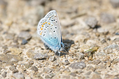 Northern Blue Butterfly (abritinquint Natural Photography) Tags: nikon d7200 telephoto 300mm pf f4 300mmf4 nikkor teleconvertor tc14eii pfedvr germany luxembourg trier butterfly blue orange northern northerblue