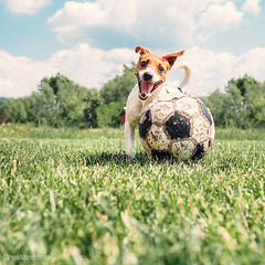 Jack Russell Terrier play with big old ball (CreativePhotoTeam.com) Tags: park old summer dog pet white motion game cute green history home nature smile grass animal sport yard speed training vintage ball puppy jack fun toy freshair happy football crazy funny russell play action outdoor soccer small russel young meadow fast canine run terrier doggy speedy fitness calorie sporty agile