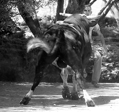072504-sm-loose-bull-1 (Al Cerv) Tags: nobull bull rodeo salinas shotgun ragingbull ahibieneeltoro