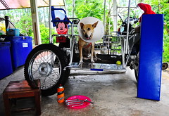 ,, Mickey & The Worm ,, (Jon in Thailand) Tags: pink blue red dog green smile ball eyes nikon cone ears tire scooter tools jungle maintenance mickeymouse cooler nikkor santahat conehead sidecar k9 helper d300 theworm repare 175528 littledoglaughedstories