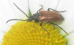 Pseudovadonia livida (John Steedman) Tags: uk greatbritain england london insect unitedkingdom beetle longhornbeetle grossbritannien    grandebretagne    pseudovadonialivida  fairyringlonghornbeetle enfield