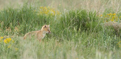 Exploring his world (gainesp2003) Tags: mammal colorado wildlife national fox co kits swift predator foxes grasslands velox pawnee vuples