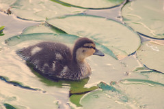Lil ducklet (TarynSiobhan) Tags: duck duckling lily pad lake sammamish sunset fluff water droplet wood