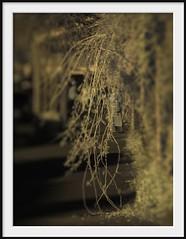 overflow (Andrew C Wallace) Tags: street plant lensbaby ir bokeh streetphotography australia pedestrian victoria infrared footpath overflow shallowdof tiltshift m43 kyneton 720nm nikon50mmf14 piperst microfourthirds tilttransformer olympusomdem5