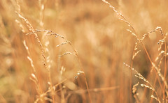 Waiting for summer (*M.*) Tags: summer nature field golden bokeh depthoffield goldenhour bladesofgrass