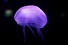 La valse fantomatique des mduses (Mr EtOH) Tags: aquarium brest mduse oceanopolis cnidaria cnidaire