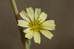 Yellow Chicory? (uncle.dee9600) Tags: flower wildflower chicory cichoriumintybus macro nikon nikond7200