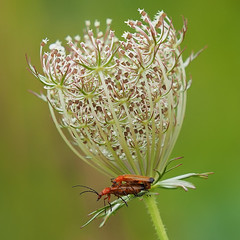 Undercover Love.... (klythawk) Tags: soldierbeetles rhagonychafulva queenanneslace wildcarrot daucuscarota notheyarenotbutterflies flower nature summer green brown red black white olympus em1 omd 100400mm panasonic claypitnaturereserve wildlifetrust sssi wilford nottingham klythawk
