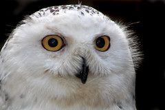 Snowy owl (seen in explore ) (Palmsgb) Tags: snowy owl snowyowl