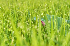 Lotus morning (Diego Chiu) Tags: morning pink flowers red white flower color macro nature fleur back gm lotus bokeh sony taiwan peaceful ground therapy 荷花 蓮花 زهرة گل اللوتس 觀音鄉 露水 桃園縣 朝露 圈圈 晨光 稻子 연꽃 कुंद 人像鏡 ハスの花 لوتوس 2016桃園蓮花季 慠嬌 仲夏‧荷樂