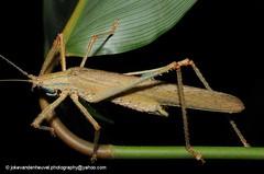 Katydid (jokevandenheuvel.photography) Tags: tettigoniidae katydid suriname nightlife biodiversity wildlife