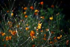Soaking up the summer sun (gwuphd) Tags: iscogottingon westrocolor orange cosmos bokeh sunlight light macro 50mm f19 sun