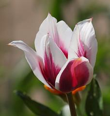2016_05_0659 (petermit2) Tags: tulipalacvanrijn tulip tulipa lacvanrijn bolsovercastle bolsover castle heritage garden venusgarden heritagegarden derbyshire englishheritage heritagetulip