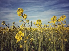Denamark (Lihme) (sylwia.photography) Tags: flowerobsession awesomenature nature ilovenature sky clouds fields beautifullight iphone colorsoftheworld flickr flowersreflection flowerflower amazingflowers beautifulflowers flowers