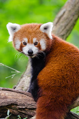 Red Panda Bamboo Dinner (Mathias Appel) Tags: grn red panda animal tier roter kleiner nikon d7000 bokeh cute adorable sweet niedlich ss sues suess tree green endangered species bedrohte tierart zoo tierpark deutschland germany female weiblich young jungtier bamboo baum jung ears ohren face gesicht tail schwanz nose nase orange fur fell high iso animals nature natur wildlife bedroht ailurus fulgens vintage 2015 mozilla firefox feet paws paw foot wochenende weekend spring frhling depth depthoffield field blur