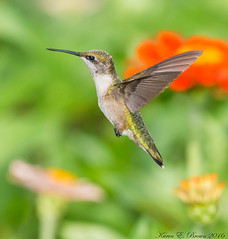 Ruby-throated Hummingbird (BirdFancier01) Tags: nature wildlife flower plant garden zinnia