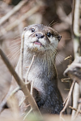 Otter looking friendly and curious (Tambako the Jaguar) Tags: malicious otter funny portrait looking cute face branches pigmy jonskleinefarm kallnach bern zoo switzerland nikon d5