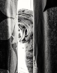 Curtain call (von8itchfisk) Tags: pussy cat gingercat gingertom gingerminge blackandwhite call scream catcall curtaincall drapes vonbitchfisk cameraphone