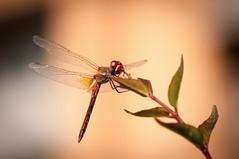 (Laszlo_Almasy) Tags: dragonfly libelula libelle insect insectos macrophotography macrofotografia macro