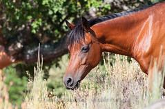 Garrano horse