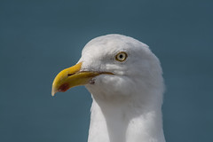 Gully - love him or hate him? (davidrhall1234) Tags: gull herringgull portrait birds bird birdsofbritain coast coastal wildlife wales feather beak eye nature nikon nikond7100 pembrokeshire