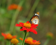 Plain Tiger on Mexican Sunflower Part II (Robert-Ang) Tags: plaintiger mexicansunflower chinesegarden singapore