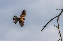 9Q6A7169 (2) (Alinbidford) Tags: alinbidford alancurtis brandonmarsh kingfisher greyheron heron kestrel