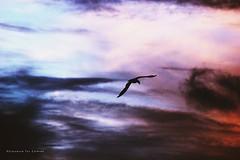 El ltimo vuelo del da (Conserva tus Colores) Tags: naturaleza nature naturelovers chile conservatuscolores gaviota contraluz sky skyporn cielo love landscape nubes colores beautiful surdechile canon photographers sunset air blue bird grunge