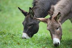 together... (Hugo von Schreck) Tags: animals esel canoneos5dmarkiii tamronsp150600mmf563divcusda011