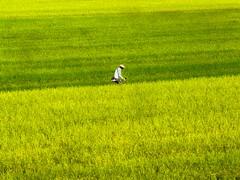 Rice Fields, Saga, Japan (Mr. Ansonii) Tags: green yellow japan walking asia rice farming  farmer saga ricefields  kyushu       sagacity sagaprefecture