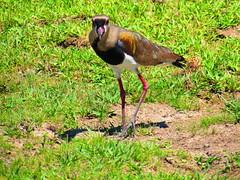 Quero-quero (Vanellus chilensis) (kurzraphael) Tags: bird ngc aves ave avifauna queroquero ornitology ornitologia
