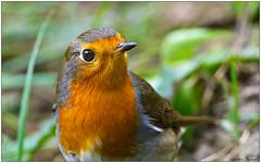 Pettirosso (Fausto Deseri) Tags: wild nature robin birds erithacusrubecula wildlife pettirosso nikontc17eii nikkorafs300mmf4 oasiditivolimanzolino nikond7100 sitodimanzolino