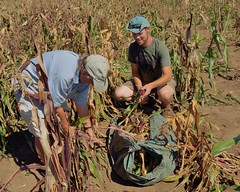 Picking Corn is best with company and conversation. (caroldeppe) Tags: usa plant vegetables oregon garden photography corn gardening farming harvest vegetable breeding organic agriculture maize picking sustainable harvesting 2014 cornears flourcorn magicmanna caroldeppecom caroldeppe fertilevalleyseeds
