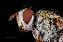 Fly (Jefferson Allan - Photographer) Tags: macro canon focusstacking fotografocampinas jeffersonallan empílhamentodefoco