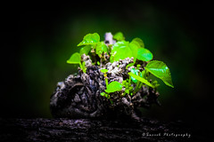 Green - The Prime Colour of World (Suresh Photography) Tags: india green nature leaves rain leaf woods nikon cloudy earlymorning monsoon chennai suresh tamilnadu