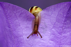 Snailing Down (Vie Lipowski) Tags: flower nature wildlife snail campanula persicifolia slowpoke harebell bellflower sluggish detritivore